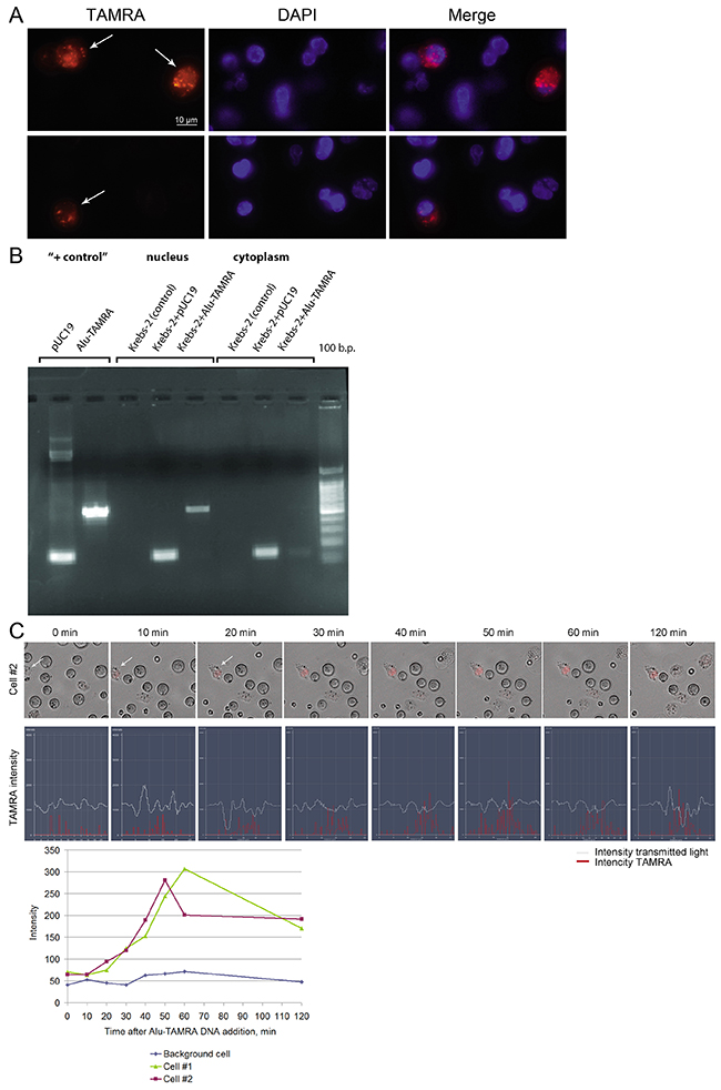 Internalization of a TAMRA DNA probe into Krebs-2 tumor cells.