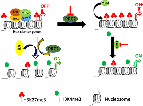 Proposed model for the regulatory role of PRC2 in undifferentiated and differentiated F9 cells.