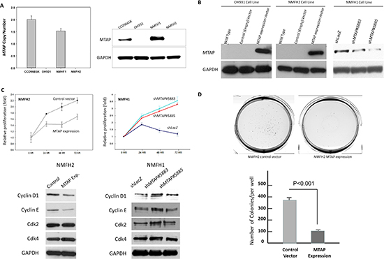 In vitro growth-inhibiting function of MTAP linked to downregulated cyclin D1.
