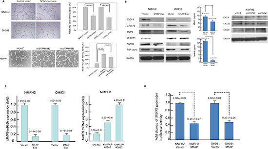 MTAP governs tumor angiogenesis by the transcriptional repression of MMP-9.