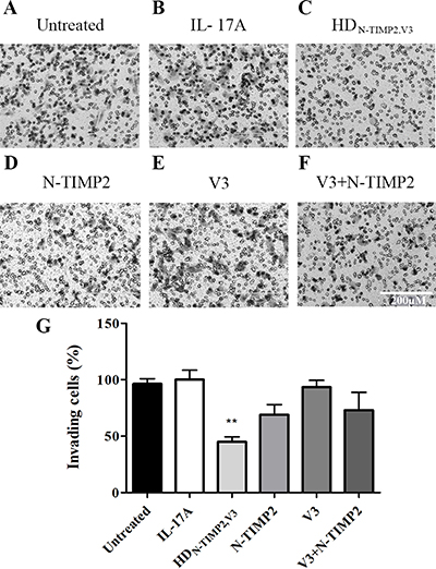 The inhibitory effect of HDN-TIMP2,V3, versus mono-specific controls, on the invasiveness of MDA-MB-231 cells.