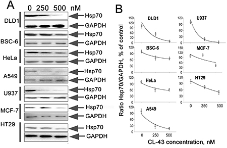 CL-43 effectively reduces Hsp70 expression in tumor cells of different origination.