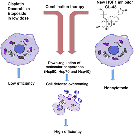 Principle of HSF1 inhibitor action in cancer cells.