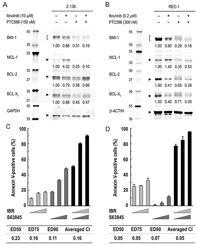 MCL-1 reduction by PTC596 counteracts ibrutinib-induced increase in MCL-1 expression and MCL-1 blockade augments ibrutinib-induced apoptosis.