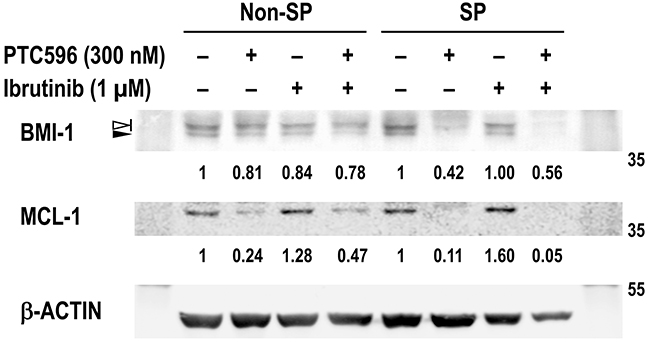 PTC596 depletes BMI-1 and MCL-1 expression in SP cells.