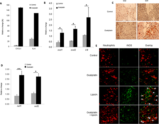 Oxaliplatin induced chemokine production which associated with lipid A, induced the iNOS-expressing-neutrophil recruitment.