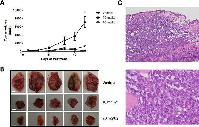 Panobinostat treatment strongly inhibits in vivo tumor growth in a canine NHL tumor xenograft murine model.