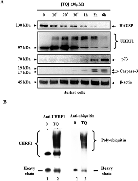 Time course effect of TQ on HAUSP, UHRF1, ubiquitinated UHRF1, p73 and cleaved caspase- 3.
