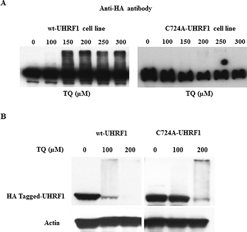 Effect of TQ on UHRF1 expression in HA-tagged UHRF1 wild-type and HA-tagged RING-mutated UHRF1 cell lines.