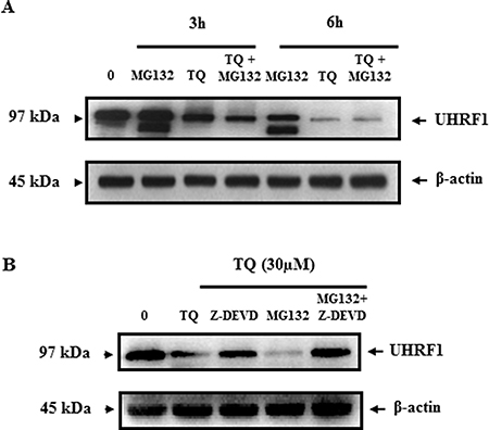 Effect of TQ on UHRF1 expression in the presence of the proteasome inhibitor MG132 and the caspase-3 inhibitor Z-DEVD.