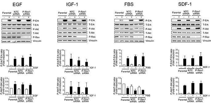P-Rex1 is not involved in Erk and Akt activation by multiple growth factors and SDF-1.
