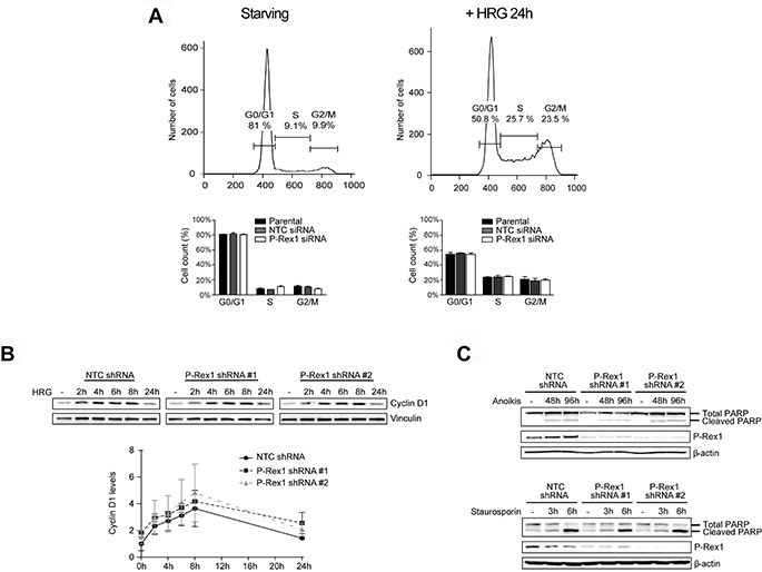 Analysis of P-Rex1 depletion effects on cell cycle progression and apoptosis.