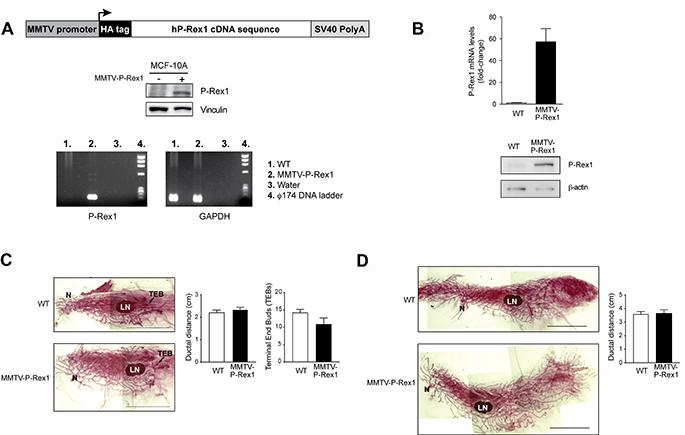 Characterization of MMTV-P-Rex1 mice.