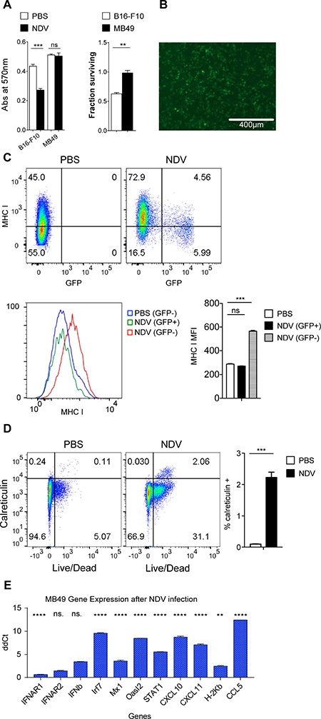 NDV infection of murine bladder cancer line exhibits similar effects as in human bladder cancer cell lines.