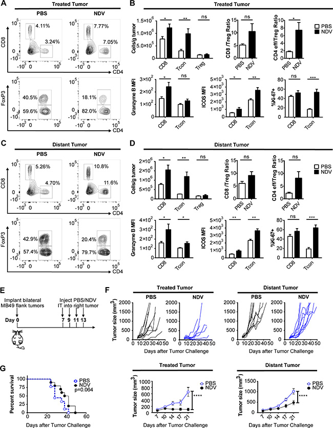 NDV induces increased immune infiltration and delay of tumor growth in treated and distant tumors.