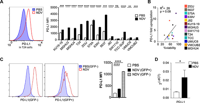 NDV treatment induces PD-L1 overexpression in bladder cancer lines.