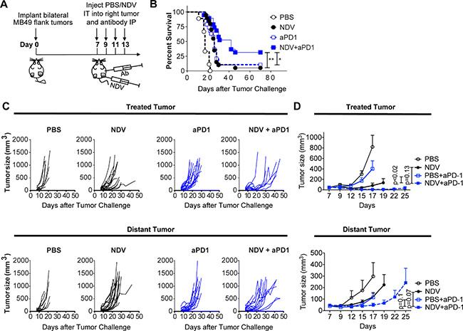 PD-1 blockade potentiates the regression of NDV-treated and distant tumors.