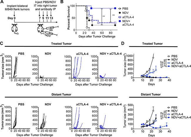 CTLA-4 blockade potentiates the regression of NDV-treated and distant tumors.
