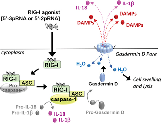 RIG-I activation induces immunogenic modes of programmed cell death.