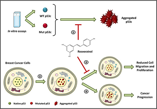 Inhibition of p53 amyloid aggregation by resveratrol.