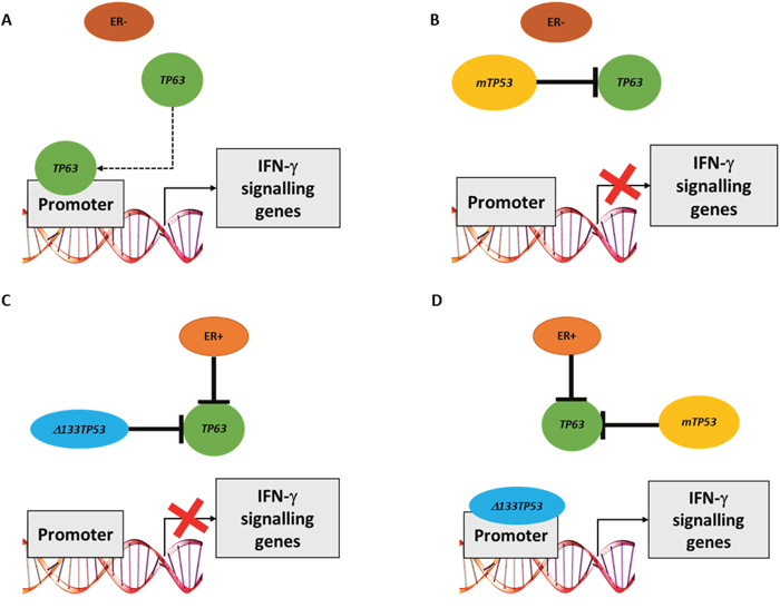 Model of how either TP63 or Δ133TP53 may regulate expression of IFN-γ signalling genes in different breast cancer subsets.