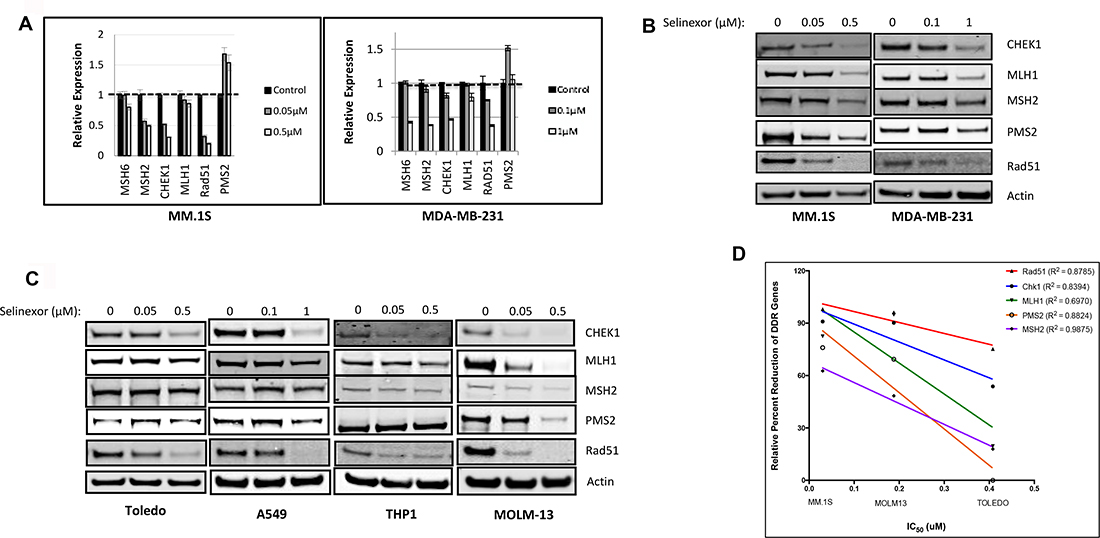 Selinexor suppresses expression of DNA damage gene products at the transcriptional and post-transcriptional levels in both solid and hematological cancer cells.