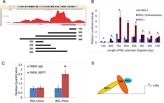 MIXL1 binds to the c-REL promoter.