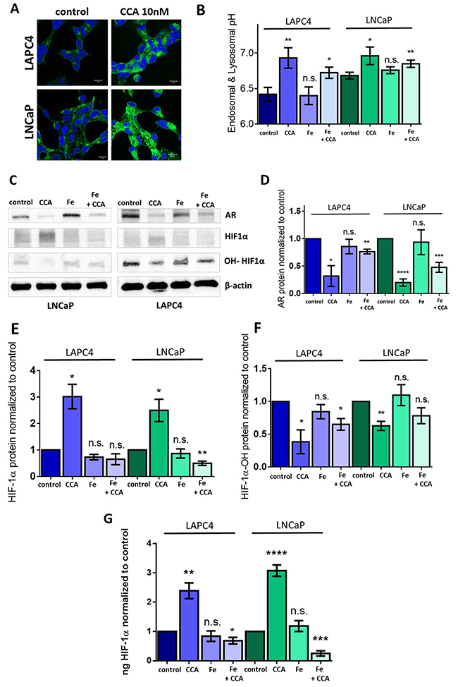 Iron (III) citrate treatment partially restores HIF-1α hydroxylation and androgen receptor expression in the face of V-ATPase inhibition.