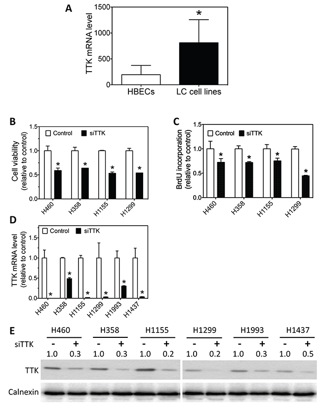 Lung cancer cells have higher TTK mRNA levels than HBECs, and knockdown of TTK expression reduces lung cancer cell survival and proliferation.