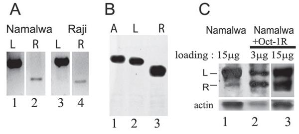 Oct-1R isoform transcription and translation.