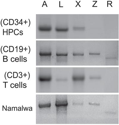 Oct-1 isoforms transcription.