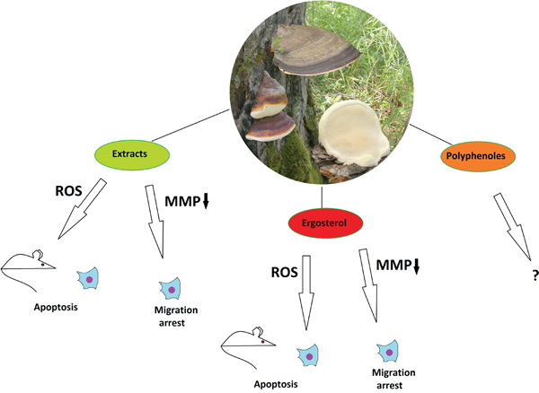 The anticancer properties of Fomitopsis pinicola.