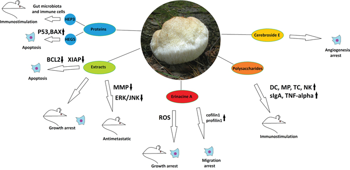 The anticancer properties of Hericium erinaceus.