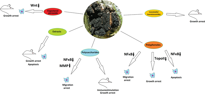 The anticancer properties of Inonotus obliquus.