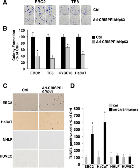 Ad-CRISPRiΔNp63 significantly decreases colony formation and induces apoptosis in ΔNp63-expressing SCC cells and keratinocytes.