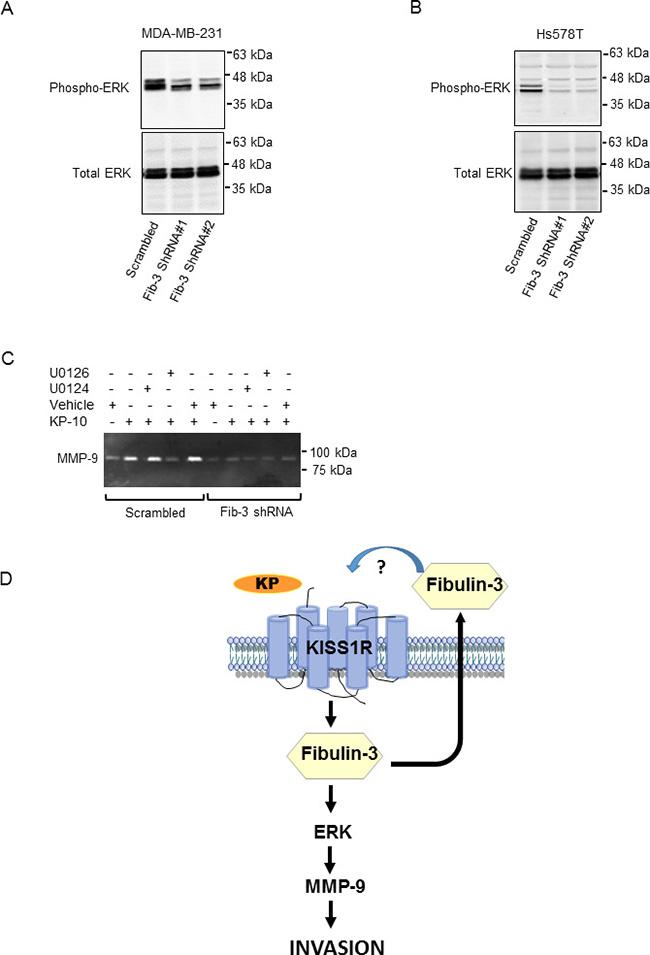 Downregulation of fibulin-3 in TNBC cells reduces ERK1/2 phosphorylation.
