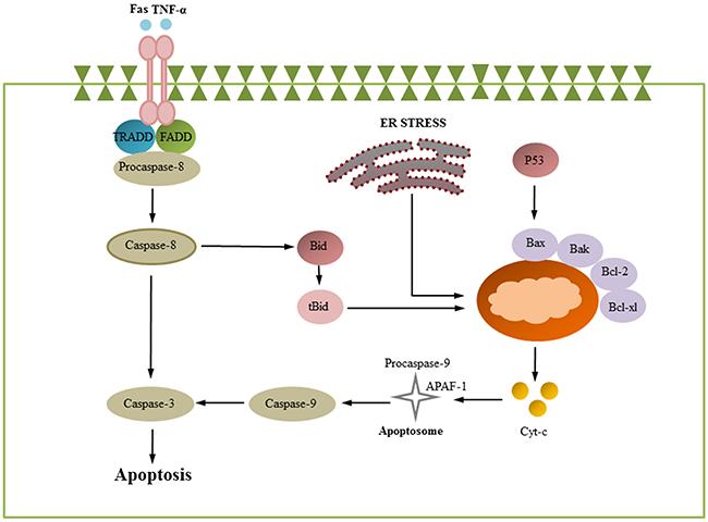 Apoptosis signaling pathways.