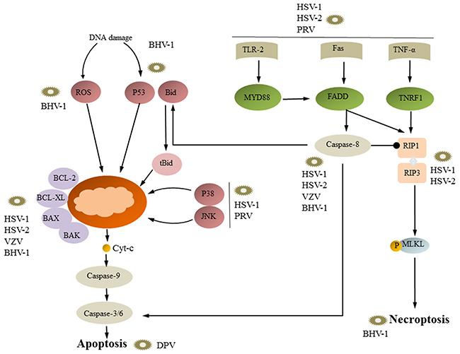 Necroptosis, apoptosis and viral replication.