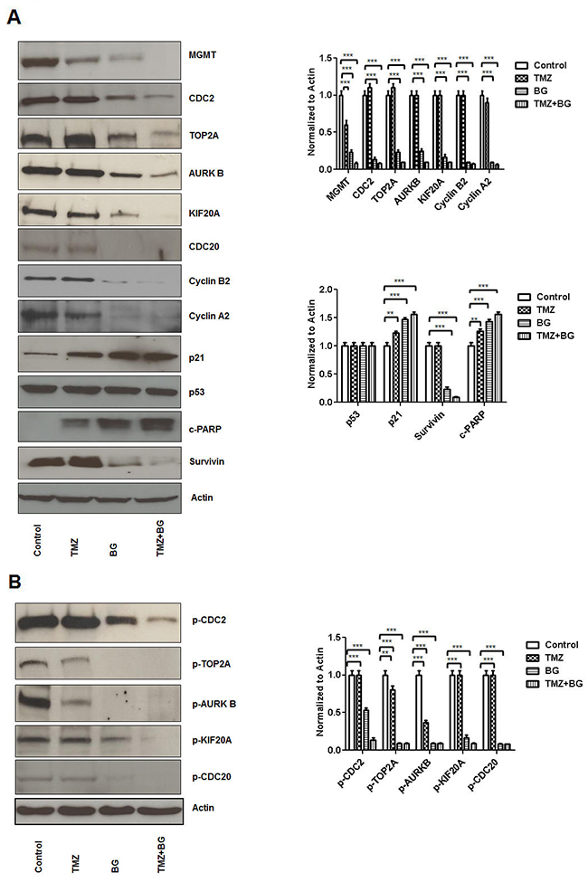 BG induced MGMT inhibition leads to inhibition of CDC2, TOP2A, AURKB, KIF20A, CDC20 expression.