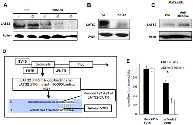 LATS2 is downregulated in KF-TX cells and acts as a target for miR-363.