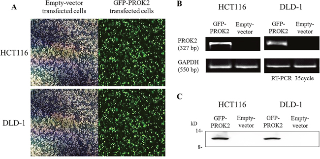 The identification of Prokineticin 2 (PROK2) overexpression in human colorectal cancer (CRC) cell lines (HCT116 and DLD-1).
