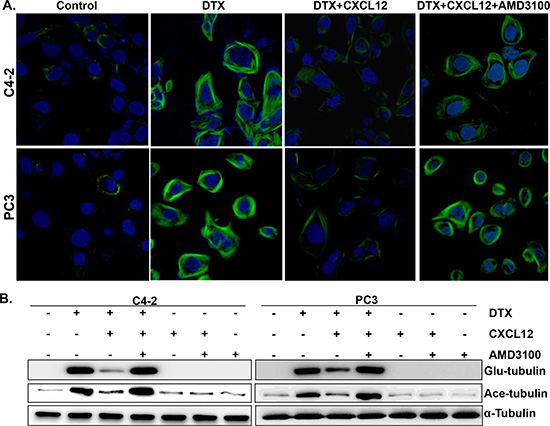 Effect of CXCL12/CXCR4 signaling on the docetaxel-induced microtubules stabilization.