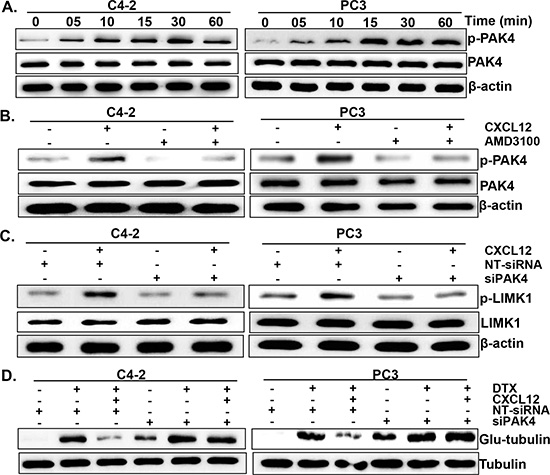 PAK4 is involved in CXCL12/CXCR4-induced LIMK1 phosphorylation.
