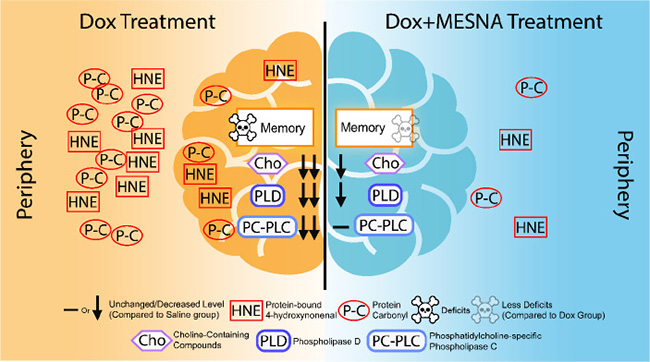 A pictorial summary of results of Dox-induced elevated oxidative stress and neurochemical alterations in the periphery and brain as well as cognitive decline (left) and MESNA-mediated protection against these Dox-facilitated effects in both plasma and brain.