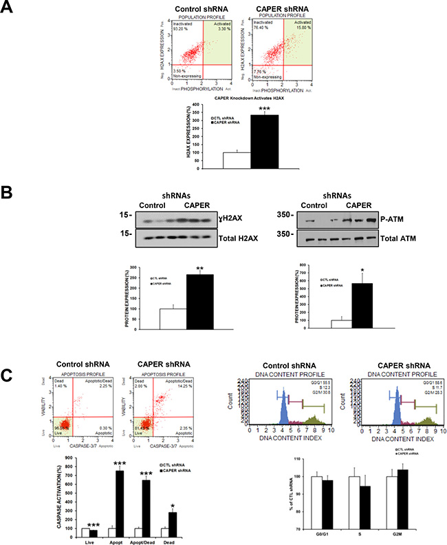 Knockdown of CAPER induces DSB proteins ATM and H2AX and leads to apoptosis in MDA-MB-231 cells.