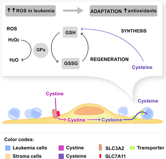 Model depicting the dependence of leukemia cells on cystine metabolism of stromal cells.
