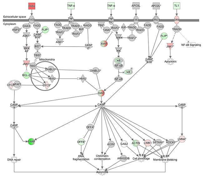 """The signaling map of """"death receptor signaling"""", showing the canonical pathways related to AQP1 depletion according to an Ingenuity Pathway Analysis."""