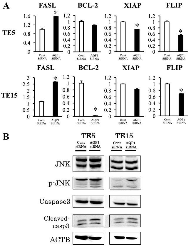 Signaling pathways regulated by AQP1 in ESCC cells.