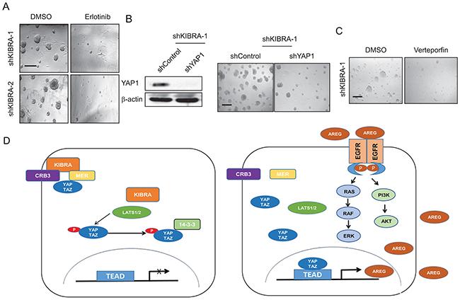 AREG upregulation in shKIBRA cells depends on YAP1 expression.