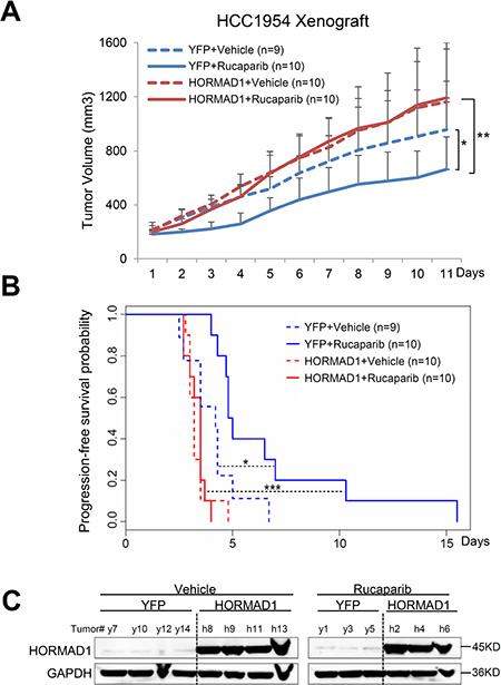 HORMAD1 increases tumor growth rate and endows reduced sensitivity to Rucaparib in the HCC1954 xenograft model.